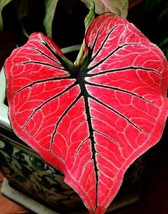 "100 pcs ""CALADIUM FANCY FLORIDA"" Elephant Ear Bonsai Flower Potted Plant... - $2.98"