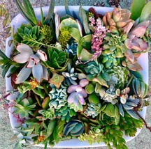 30 or 50 Assorted Succulent & Cactus Cuttings. Great for Terrariums, Mini Garden image 1