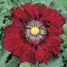 100 seeds of Peony Poppy Serious Scarlet Flower - $15.72