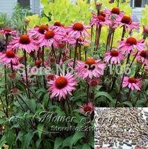 15 Seeds Echinacea Purpurea Seeds Merlot Perennial Coneflower Medicinal Herb - $2.00