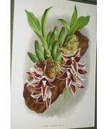 Lindenia Limited Edition Paphinia Lindeniana Rc... - $15.83