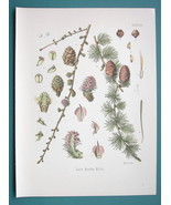 LARCH TREE Medicinal Larix Decidua - Beautiful COLOR Botanical Print - $28.69