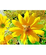 SHIPPED FROM US 100+WESTERN(NO LEAF)SUNFLOWER Original Prairie Seeds, CB08 - $16.00