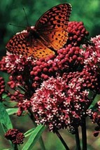 SHIP From US, 100 Seeds Rose Milkweed, DIY Home Flower AM - $39.99