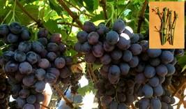 5 Green sweet jubilee grapes Cuttings - $38.30