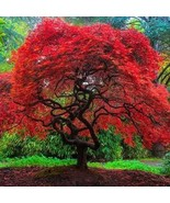 Flame Amure Maple Tree Seeds (Acer Tataricum Ginnala) 15+Seeds - $21.98