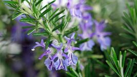 7 Variety Seeds - Rosemary Seeds Variety Sizes, Anthos #SMS60 - $12.99+