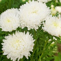 Duchess White Paeony Aster Flower 30 Seeds #SFB11 - $18.17