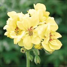 Geranium 'Custard Cream' Yellow Flower Seeds, 10pcs seeds - £9.89 GBP
