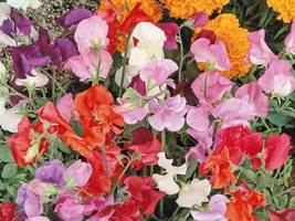 SHIP FROM US 40 Sweet Pea Knee High Mix Seeds, ZG09 - $15.96
