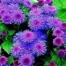 100+ Blue Tycoon Ageratum / Annual Flower Seeds – Outdoor Living - SBS - $33.95