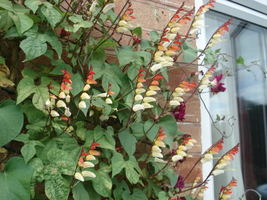 10 seeds - Firecracker Vine Flower Mina Lobata Exotic #SFB15 - $17.99