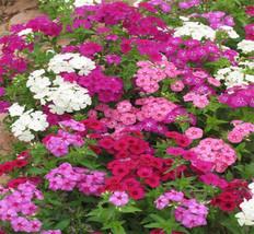 Annual Phlox Mix 100 seeds Phlox drummondii * Easy grow * garden CombSH I36 - $11.98