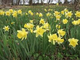 Wild Daffodil 50 bulbs,Lent Lily (NARCISSUS PSEUDONARCISSUS image 3