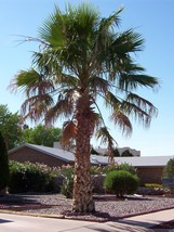 20 Mexican Fan Palm, Washingtonia robusta, Tree Seeds (Fast Tropical Eve... - $11.99
