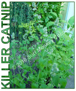 Killer Catnip seeds w/ FREE instruction card! Heirloom quality, Potent f... - $3.67