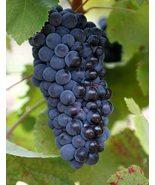 Pinot Noir Wine Grape Vine 3 gallon Live Plant Home Garden Easy to Grow ... - $132.99