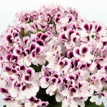 50 White Purple Geranium Seeds Hanging Basket Perennial Flower - TTS - $29.95