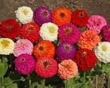 SHIP From US, 320K Seeds Zinnia Dwarf Mix Fresh, DIY Decorative Plant ZJ - £204.22 GBP