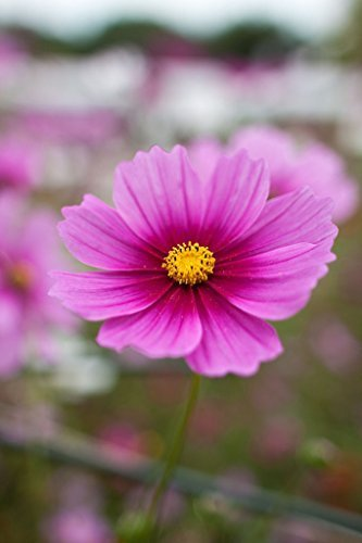 1/4 Pound Seeds of Cosmos Radiance