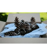 Douglas Fir Cones REAL Pinecones Crafts Projects Holiday Decor Lot appro... - $19.79