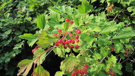 SHIPPED FROM US 60 Cranberry American Highbush Berries Viburnum Seeds, GS04 - $11.00
