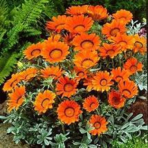 40 Seeds Gazania Garden Leader Bronze Flower Seeds (Gazania Rigens) TkThesun - $33.66