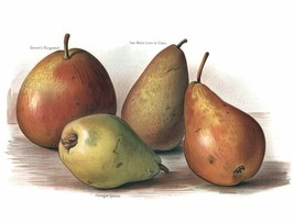 Vintage Fruit Prints: Gansels Bergamot - Fruit Growers Guide - 1880 - $12.82+