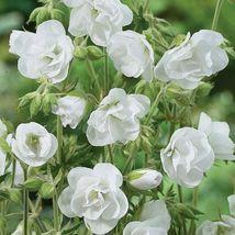 50 Double White Geranium Seeds Hanging Basket Perennial Flower - TTS - $29.95