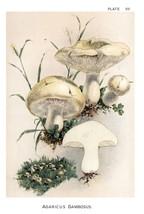 W. Hamilton Gibson: Agaricus Gambosus - Harper Publishers - 1895 - $12.82+