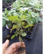 """1 """"Nachez"""" Thornless Blackberry Plant. Healthy grown pesicide free non GMO - $12.99"""