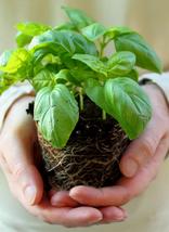 100 Seeds Basil Genovese (Ocimum Basilicum) Plant For Home Garden - $11.89