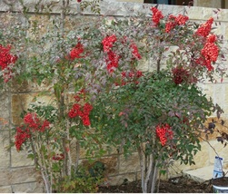 SPICE BUSH Pond Berry- (Lindera melissifolia) - $32.99