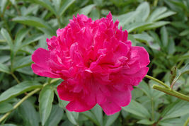 Felix Crousse Peony Red Peonies 3-5 Eye Established Perennial 1 Gallon T... - $48.99