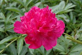 Felix Crousse Peony Red Peonies 3-5 Eye Established Perennial 1 Gallon T... - $48.99