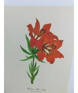 VTG Western Red Lily  (Lilium Umbellatum)  9x12 Frameable Print Nature F... - $11.75