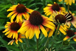 """3"""" pot echinacea FINE FEATHERED PARROT bicolor coneflower 1 Live Potted Plant - $40.99"""