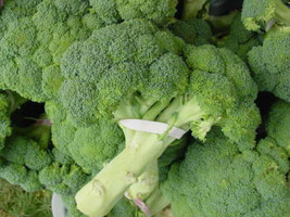 Ship From Us 1000 Calabrese Broccoli Italian Green Sprouting Seeds SBR4 - $12.00