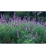 Salvia leucantha - Mexican Bush sage - Starter Plant - $53.46