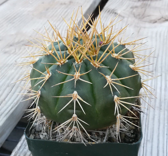 Gymnocalycium eurypleurum Bright Yellow Spines on Dark Green Body Cactus 90