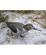 Spotted Sandpiper Lifesize 8.5 x 4 in. - $98.45