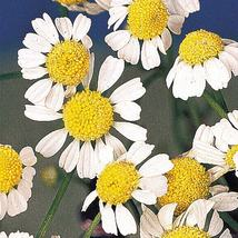 SHIP From US, 10 Seeds Common German Chamomile Seeds, DIY Home Flower AM - $18.99