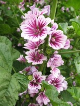 "French Hollyhock - ""Zebrina""- (50 Seeds) Malva sylvestris - Perennial - $12.25"