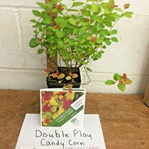 Double Play Candy Corn Spirea image 6