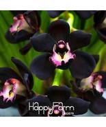 100PCS/Bag Unique Black Cymbidium Faberi Flower Seeds Garden Flowering - $2.49