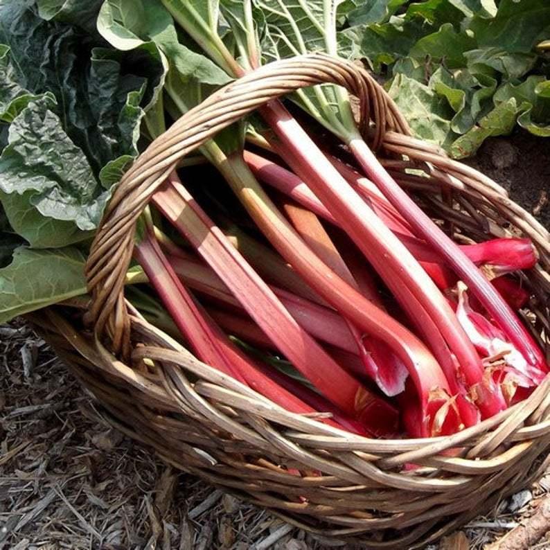 25Pcs Rhubarb Victoria Vegetable Seeds Rheum Rhabarbarum Seed - $19.84