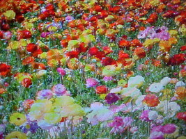 1/2 POUND A&P WILDFLOWER 25-FLOWER COLORS 225,000 SEEDS - $59.60