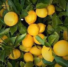 """Live Plants Lemon Trees 3""""- 5"""" Landscaping Starter Seedling Citrus Fruit - $39.59"""