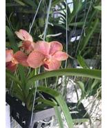 "SALE 3 Large Vanda Orchids With Hanging 3"" Basket - Premium - $86.85"