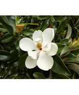 Magnolia grandiflora in pot pre bonsai fragrant white flowers Live Plant... - $45.00